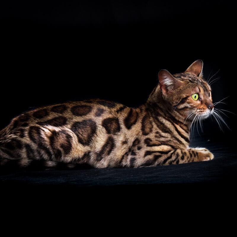 gato bengalí