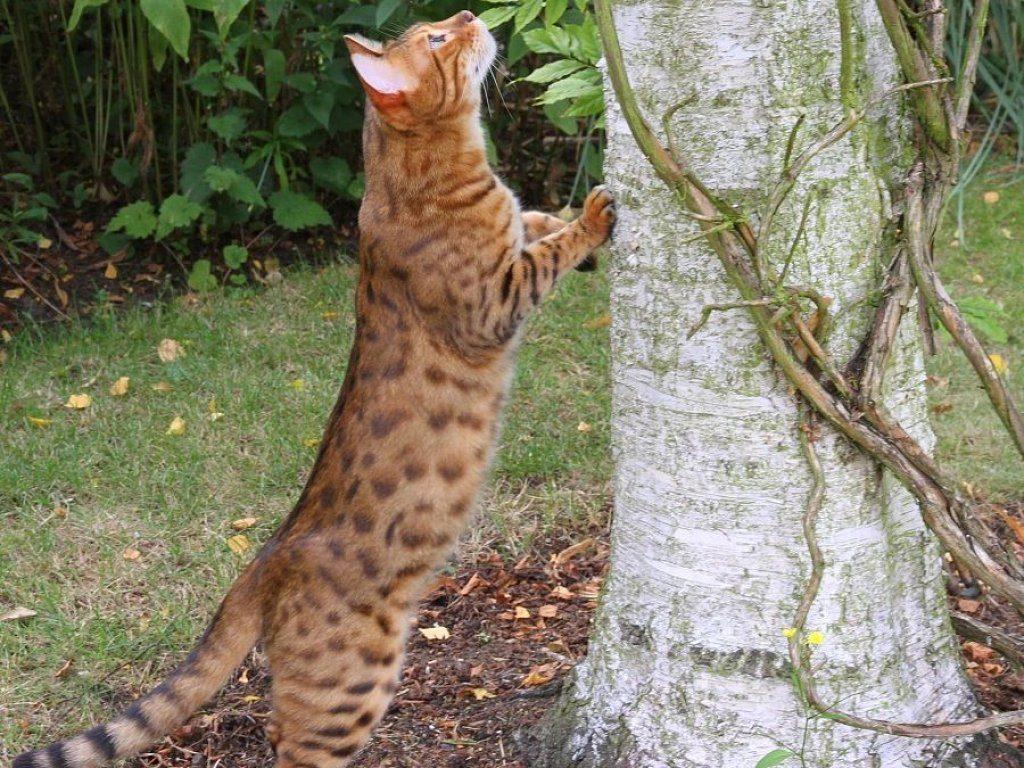 gato bengali antiguo lepardland