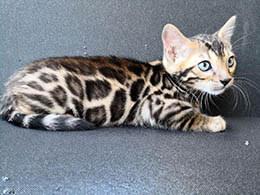comprar gato de bengala