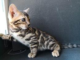 venta gato bengali