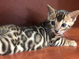 venta gato leopardo