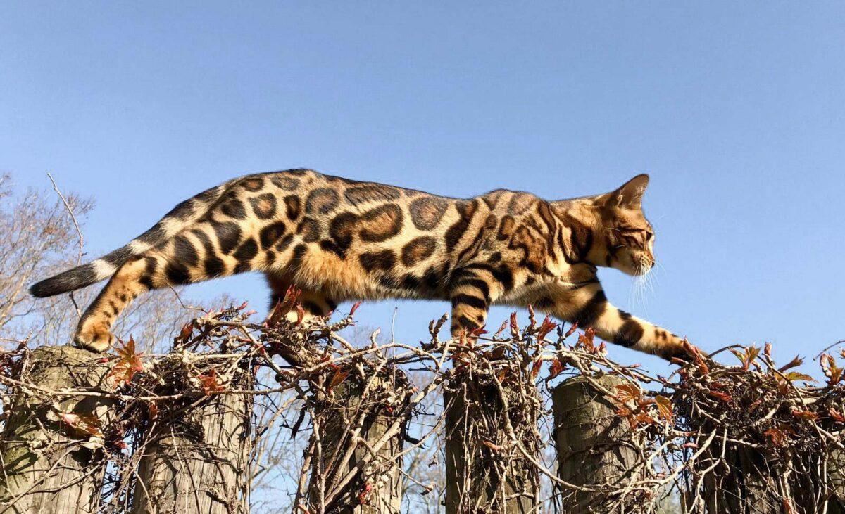 Las 10 razas de gato más caras del mundo