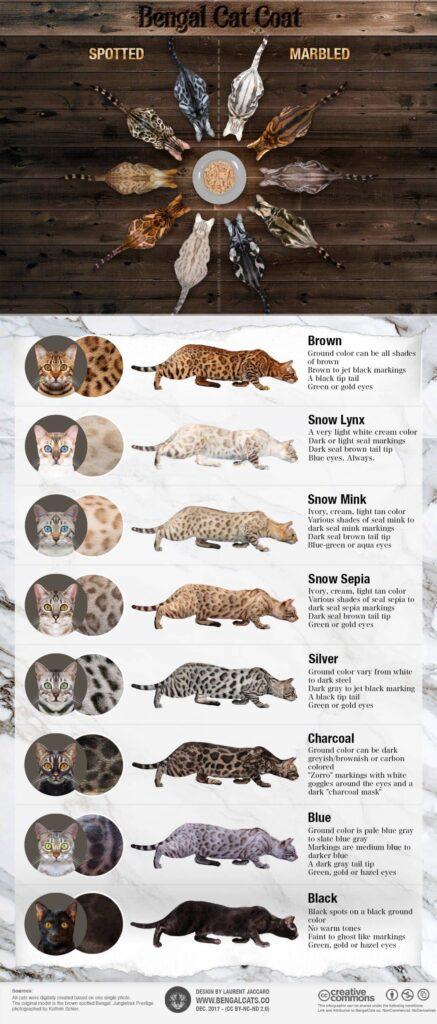 tipos de gato bengali