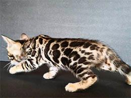precio gato bengali