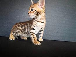 gato bengali adopcion