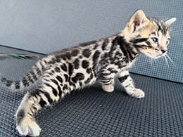 gato bengali comprar