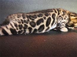 comprar un gato bengali