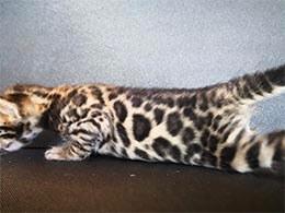 comprar gato bengali en bilbao