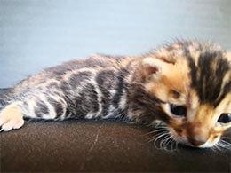 venta de gato bengali en madrid