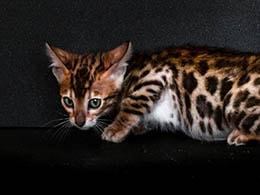 comprar gato bengali sevilla