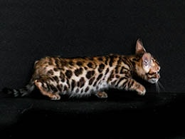 gato bengali milanuncios