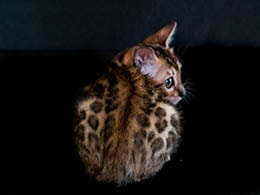 gato leopardo adopcion