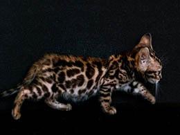 comprar gato bengali colombia
