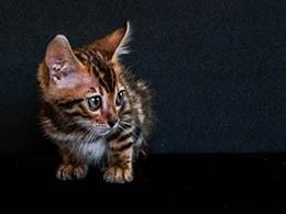 comprar gato bengali barato
