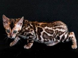 comprar gato bengali asturias