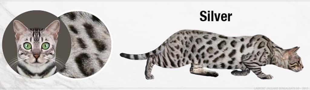 gato bengal silver lepardland