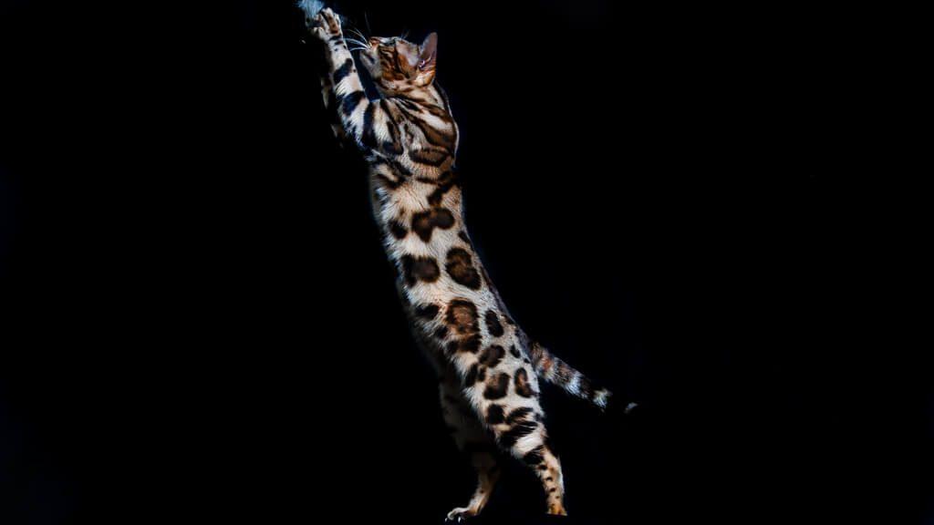 criador gato bengali barcelona